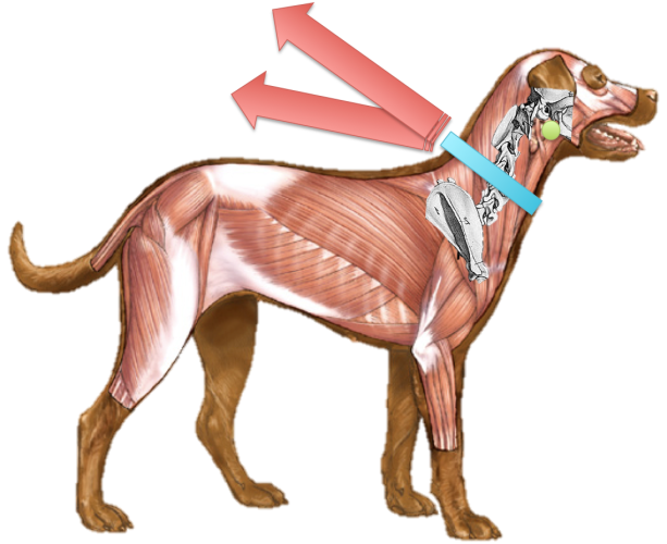 halsband-hund