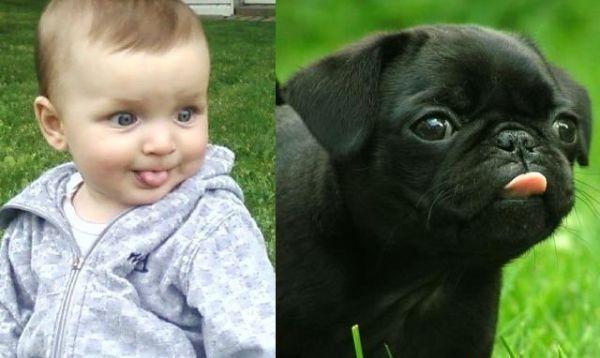 Baby-vs-Pug